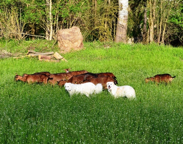 produzione formaggi di capra